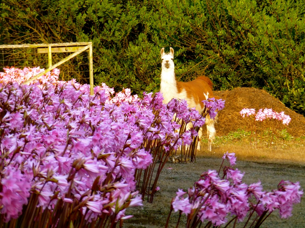 Llama at Glendeven