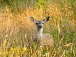 Deer between Cobbler's Walk and the coast