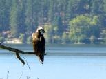 Osprey, a/k/a the sea hawk