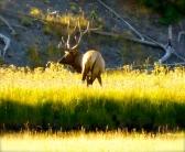 ::beautiful elk::