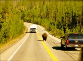::bison jam in Yellowstone::