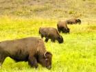 ::bison::