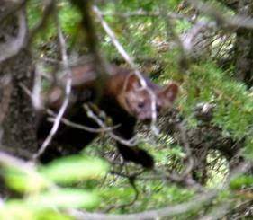Pine marten, a rare find