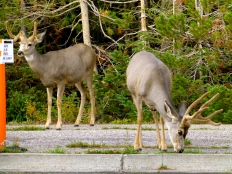 ::some deer hanging in the parking lot::