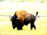 ::buffalo::