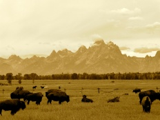 Bison and the Tetons