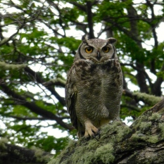 ::alan found hooty's patagonian cousin::