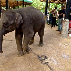 ::chained baby elephant::