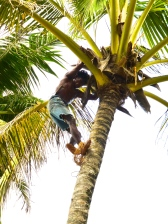 ::massively impressive man who climbs up the palms to trim them::