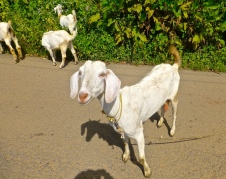 ::goats, goats, everywhere::