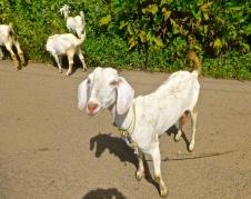 ::goats, goats, everywhere::