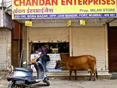 ::cow in queue::
