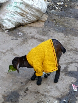 ::goats in sweaters, of course::