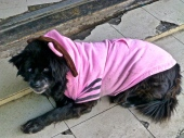 ::this is the meanest dog you'll ever see wearing a pink dinosaur hoodie::
