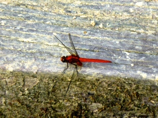 ::beautiful red dragon flies::