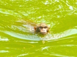 ::swimming monkeys, too cute::