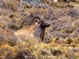 ::call of the mountain goat::
