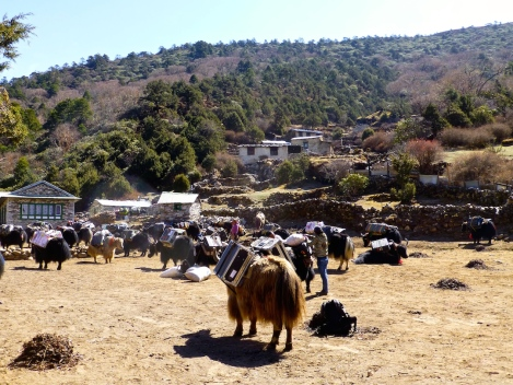 ::yaks geared up for base camp::