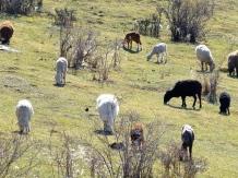 ::sheep carpooling::