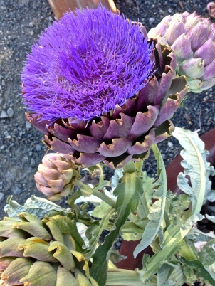 ::did you know that this is what artichokes look like when they flower?!::