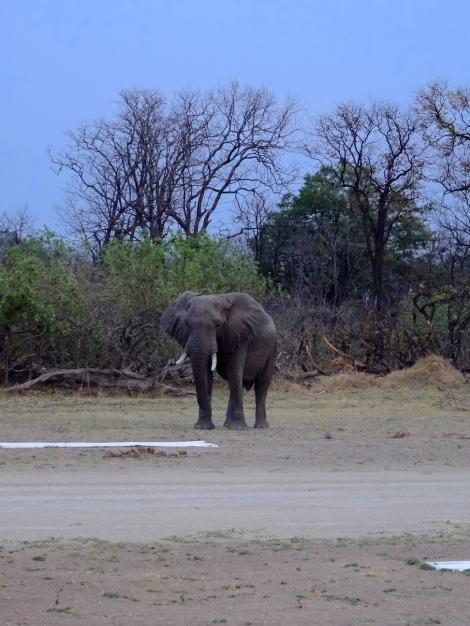 ::elephant on the runway::