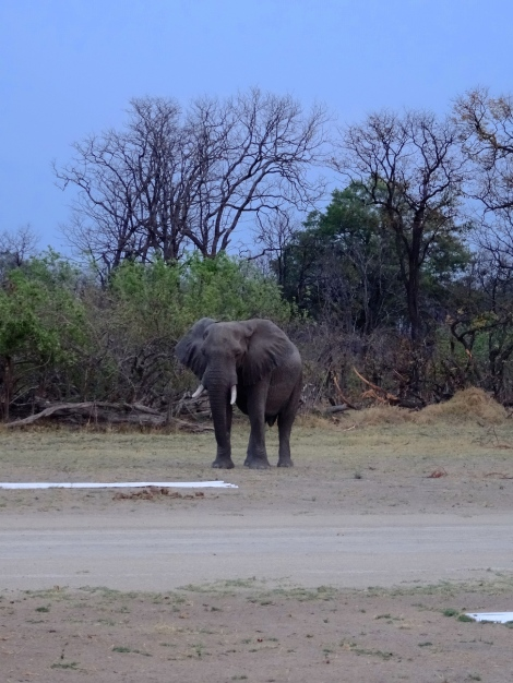 ::elephant on the runway::