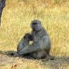 ::nursing baboon::