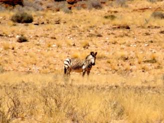 ::desert zebra::