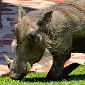 ::warthogs on the property::