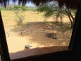 "::warthog and guinea fowl outside our ""window""::"