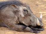 ::loads of warthogs on the property;: